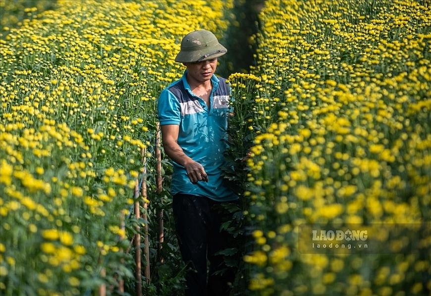 Hoa cúc tượng trưng cho sức khỏe, sự trường thọ, lòng hiếu thảo