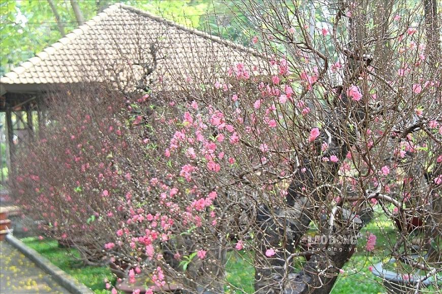 Hoa đào tượng trưng cho sự sinh sôi nảy nở...