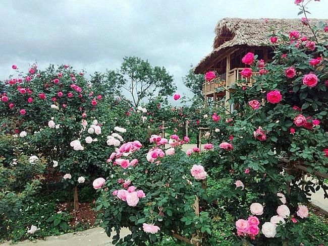 Những vườn hồng cổ Sa Pa là nơi tỏ tình thơ mộng (Ảnh: laocaitourism.vn)