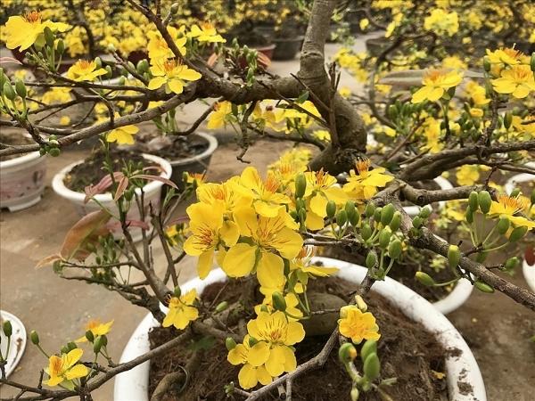 Cách chọn hoa chơi Tết để rước lộc đầu năm