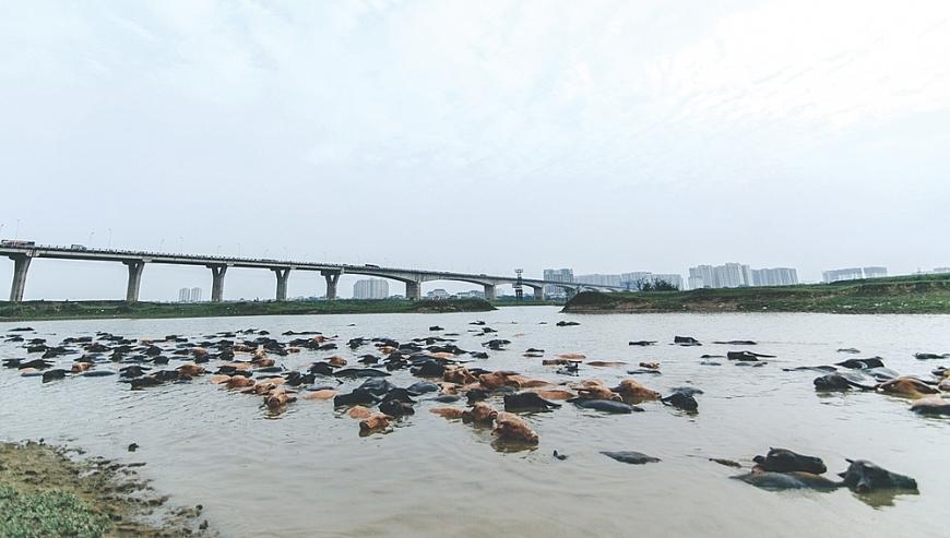 4. Đàn trâu của ông Nguyễn Văn Tiến đằm nước bên chân cầu