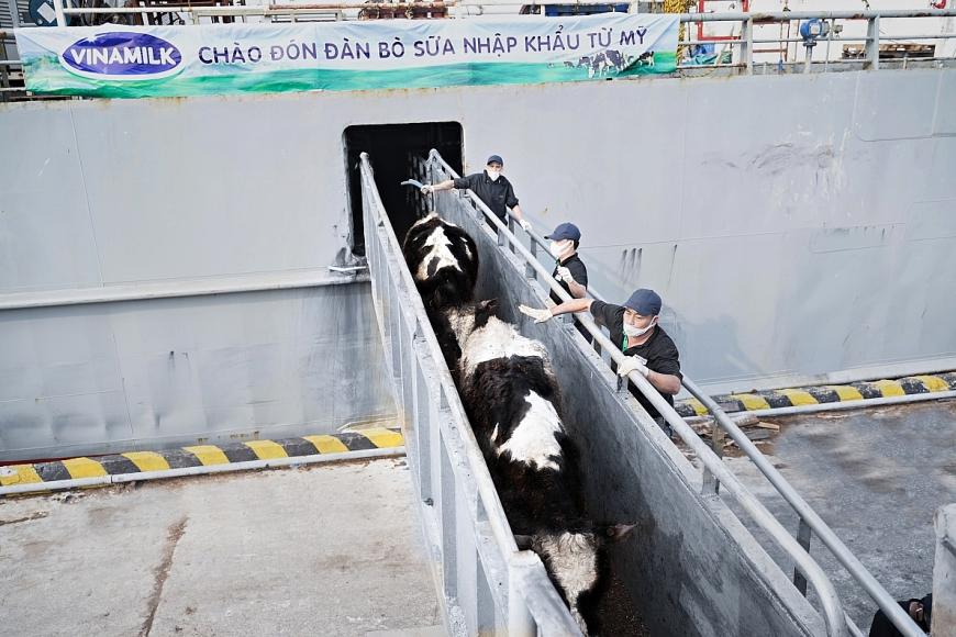 Đàn bò sữa có tình trạng sức khỏe ổn định sau chuyến hành trình dài từ Mỹ về Việt Nam