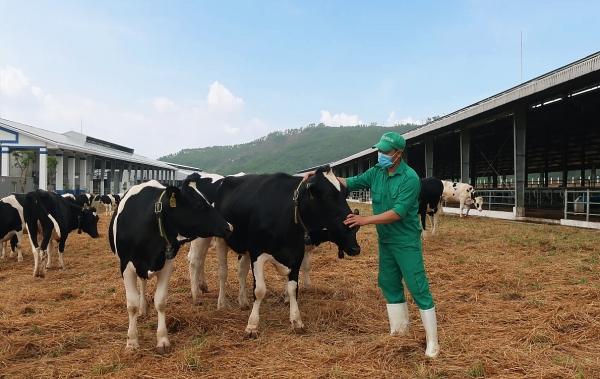 Đàn bò sữa hơn 2.100 con được Vinamilk nhập về từ Mỹ có gì đặc biệt?